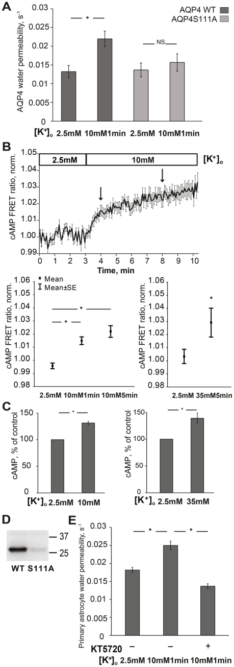 Potassium elevation induces cAMP production and increases astrocyte water permeability via PKA-dependent phosphorylation of AQP4. (A) 10mM potassium significantly increased WT AQP4 water permeability (*p