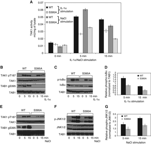 O -GlcNAcylation of TAB1 affects activation of TAK1 and phosphorylation of its downstream targets IκBα and JNK1/2. ( A ) IL-1α or NaCl-induced activation of TAK1 in WT and S395A TAB1 transfected Tab1 −/− MEFs. At 36 h post-transfection, MEFs were serum starved for 6 h, and then stimulated for 5 and 15 min with 10 ng/ml IL-1α or 0.5 M NaCl. The TAK1 complexes were pulled down from the cell extracts (1 mg of protein extract) using glutathione-sepharose beads, and TAK1 activity assays were performed (as described in the Materials and methods section) in addition to immunoblotting as described below in ( B ). The data are expressed as the relative increase in TAK1 activity of the IL-1/NaCl-stimulated samples compared with the basal activity of the unstimulated control samples. Error bars denote standard deviation, determined from three independent experiments. ( B ) In parallel to the experiments in ( A ), TAK1 complexes were denatured in LDS, subjected to SDS–PAGE and immunoblotted with a phospho-specific antibody that recognizes TAK1 autophosphorylation at Thr187 (pT187) and with a further antibody that recognizes all forms of TAK1. O -GlcNAcylation of TAB1 was detected with the site-specific O -GlcNAc antibody (gS395) versus a total TAB1 antibody control (TAB1). ( C ) In all, 30 μg of the cell lysates from the samples obtained as in ( A ) was immunoblotted for phosphorylated Iκβα p-Iκβα and total Iκβα. ( D ) Densitometry for IκBα phosphorylation after normalization against total TAB1 levels. The data shown are the average of three independent experiments with error bars denoting standard deviation. ( E ) WT and S395A TAB1 were transfected in Tab1 −/− MEFs. At 36 h post-transfection, MEFs were serum starved for 6 h, and then stimulated for 5 or 15 min with 0.5 M NaCl. The TAK1 complexes were pulled down from the cell extracts (1 mg of protein extract) using glutathione-sepharose beads and taken for kinase assays ( A ) in addition to immunoblotting. For immunoblotting,