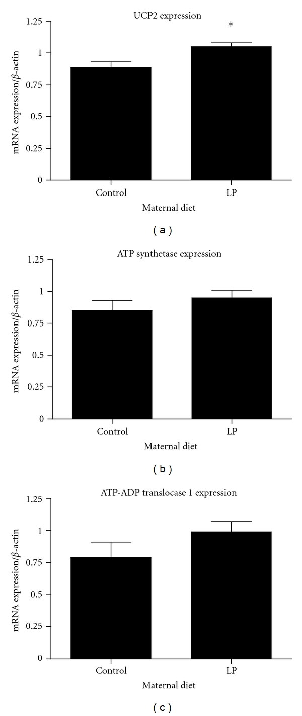 Gene expression of mitochondrial targets measured by RT-PCR. mRNA expression UCP2 was increased in offspring of protein-restricted dams. ATP Synthetase β -subunit and ATP-ADP translocase 1 were unaffected by maternal protein restriction. Values are means ± S.E.M. n = 5 animals per group.* P