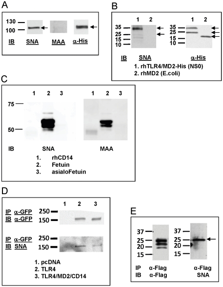 Sialylation of <t>TLR4</t> and MD2. Recombinant human TLR4-His/MD2-His proteins expressed in the mammalian NS0 cell line were separated by SDS-PAGE and analyzed on immunoblot for binding to lectin SNA, MAAII and to anti-His antibody (A). Recombinant human TLR4-His/MD2-His expressed in NS0 cells (lane 1) or recombinant human MD2-His expressed in E. coli (lane 2) were separated by SDS-PAGE and probed by lectin blot with SNA (left) and on immunoblot with anti-His antibody (right) (B). Recombinant human CD14 (lane 1) were separated by SDS-PAGE and probed by lectin blot with SNA (left) and MAAII (right). The highly sialylated glycoprotein, fetuin (lane 2) and asialofetuin (lane 3) were included as positive and negative controls respectively (C). HEK293T cells were transfected with control <t>pcDNA,</t> or plasmids encoding TLR4-YFP alone or with MD2 and CD14 expression plasmids, and proteins from cell lysates were immunoprecipitated with ant-GFP antibody and probed on immunoblot with either anti-GFP antibody (top) or SNA (bottom) (D). Proteins from the medium of MD2-transfected cells were immunoprecipitated with anti-FLAG antibody and probed on immunoblot with anti-FLAG antibody (left) or SNA (right) (E). The expected molecular weights of MD2 and TLR4 are indicated by arrows. Results shown are representative of data from at least 2 independent experiments, each with similar results.