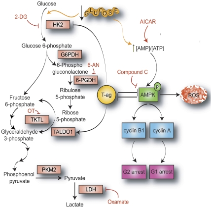 Mechanism and significance of metabolic signaling pathways affected by the presence of JCV T-antigen. JCV T-antigen is downregulated by glucose deprivation in an AMPK-dependent manner. During periods of glucose deprivation, T-antigen inhibits AMPK phosphorylation, which prevents the induction of reactive oxygen species (ROS) and subsequent cytotoxicity. Additionally, T-antigen relieves AMPK-mediated cyclin B1 and cyclin A inhibition, leading to decreased G1 arrest. Glucose deprivation induces both enhanced glycolytic flux to maintain high levels of ATP production as well as enhanced pentose phosphate pathway activation to supply reducing equivalents in the form of reduced nicotinamide adenine dinucleotide phosphate (NADPH) to counteract ROS production produced by glycolysis. T-antigen upregulates transaldolase-1 (TALDO1) expression to shift intermediates from the pentose phosphate pathway towards glycolysis to enhance ATP production and also prevents hexokinase 2 (HK2) upregulation during glucose deprivation. (HK2, hexokinase; G6PDH, glucose 6-phosphate dehydrogenase; 6-PGDH, 6-phoshogluconate dehydrogenase; TKTL, transketolase; PKM2, pyruvate kinase M2; LDH, lactate dehydrogenase; 2-DG, 2-deoxyglucose; 6-AN, 6-aminonicotinamide; OT, oxythiamine).