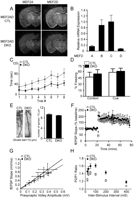 Brain-specific deletion of Mef2a and Mef2d causes impairments in motor coordination, as well as presynaptic release probability. ( A ) Detection of Mef2a and Mef2d transcripts by in situ hybridization in littermate CTL and Mef2a/d DKO (DKO) mice. Arrow indicates hippocampus. ( B ) Expression level of MEF2 transcription factors in the hippocampus of Mef2a/d DKO mice as detected by quantitative RT-PCR. RNA was isolated from the hippocampus of 4 week old animals (n=3/genotype), and then expression determined by quantitative PCR. The fold change in RNA was calculated using the comparative Ct method, normalizing to GAPDH as a control. ( C ) Mef2a/d DKO mice exhibit impaired motor coordination as assessed by falling off the accelerating rotarod faster than littermate CTLs (F 1,7 =27.64, P