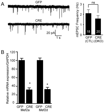 The loss of <t>MEF2A/D</t> does not alter basal synaptic transmission. ( A ) mEPSC frequency is unchanged upon deletion of Mef2a/d in hippocampal culture neurons using lentivirus expressing Cre recombinase (p > 0.05). The number of recordings is shown in the bar graph for the GFP and Cre infected neurons. Data is shown as mean ± SEM. ( B ) Lentivirus containing either GFP or Cre was infected at 4 DIV in hippocampal culture neurons and cells were harvested at 15–18 DIV, in parallel with the time of recordings. Quantitative <t>PCR</t> was used to confirm the deletion of Mef2a/d (*p