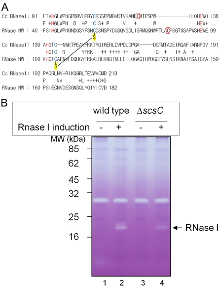 In vivo RNase I activity depends on scsC in C. crescentus . (A) Sequence alignment of C. crescentus RNase I (CC0030) and a tobacco RNase (RNase NW) after Jpred3 analysis. The high-resolution structure of the latter has been solved, and disulfide bonds have been assigned from the structure (PDB: 1iyb). The letters in red in the alignment are predicted to be catalytic residues in the active sites of both RNases. Two cysteine residues in blue are conserved in both RNases, and those from RNase NW form a disulfide bond which is represented with an S (sulfur in thiol) in a yellow background. One additional cysteine residue between these conserved cysteines in each of the C. crescentus RNase I and RNase NW proteins is indicated in a red box. (B) Zymogram to show RNase activity in the wild-type and the scsC C. crescentus strains. Cells were induced by 0.5 mM vanillate for expression of C. crescentus RNase I from pSC164. Cells were harvested at mid-log phase, broken by sonication, and subjected to <t>SDS-PAGE.</t> Poly(C) as an <t>RNA</t> substrate and toluidine blue as an intercalating dye were added to visualize RNase activity on a gel. The strain backgrounds used were C. crescentus CB15N (wild type; lanes 1 and 2) and SEN 224 (the scsC mutant; lanes 3 and 4).