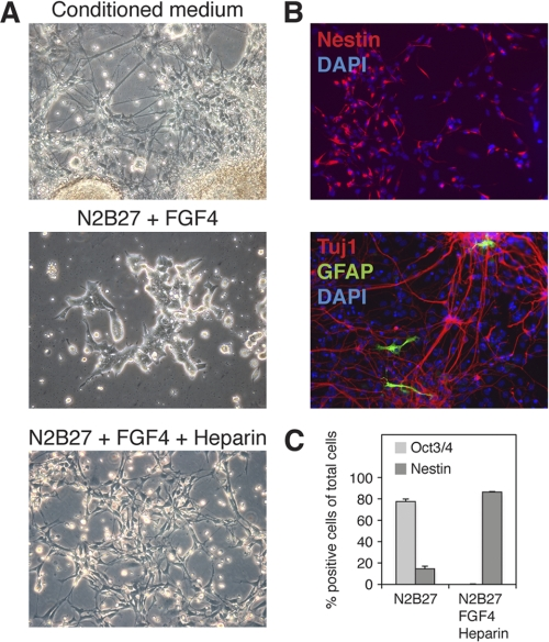 FGF4 and heparin rescue neural differentiation of NDST1 −/− NDST2 −/− ES cells. A , the addition of conditioned medium from WT ES cells subjected to neural differentiation to the NDST1 −/− NDST2 −/− cells rescued neural differentiation of the mutant cells ( top , day 13). The addition of 10 ng/ml FGF4 only for 7 days had no effect on mutant cells in N2B27 ( middle ), whereas 10 ng/ml FGF4 in combination with 0.1 μg/ml heparin rescued neural differentiation ( bottom , day 9). B , immunofluorescence staining of mutant cells. Shown is neural differentiation in the presence of FGF4 and heparin ( top ) and staining for nestin ( red ) and DAPI ( blue ). Mutant neural cells were plated on a polyornithine/fibronectin-coated surface 5 days after withdrawal of FGF4 and heparin and stained for the neuronal marker Tuj1 ( red ), the astrocyte marker GFAP ( green ), and DAPI ( blue ). C , quantification of <t>Oct3/4</t> and nestin-expressing NDST1 −/− NDST2 −/− cells subjected to 6 days of neural differentiation in N2B27 medium with and without the addition of FGF4 and heparin. Error bars , S.D.