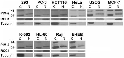 Western blot analysis of cytoplasmic(C) and nuclear(N) expression of PIM-2 in various cell lines. Nuclear or cytoplasmic proteins (50 µg) were separated on a 15% SDS-PAGE. Blots were reacted with anti PIM-2 antibodies as primary antibody and HRP conjugated anti rabbit IgG secondary antibody. The membranes were stripped twice and reacted once with anti RCC1 antibody as control for nuclear proteins and once with anti β-tubulin as control for cytoplasmic proteins.