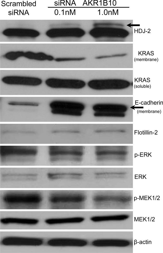 Western blot analysis of prenylated proteins including HDJ2 and KRAS as well its downstream signals. Increased non-farnesylated HDJ2 protein ( upper black arrow ) and decreased membrane-bound KRAS protein were observed in the siRNA AKR1B10 pancreatic cancer cell line when compared to the scrambled siRNA control. Increased levels of membrane-bound E-cadherin ( lower black arrow ) and decreased levels of KRAS downstream effectors, phosphor-ERK and phosphor-MEK1/2, were also found. Flottin-2 was used as a loading control for membrane-bound proteins, while β-actin is used for cytosolic proteins.