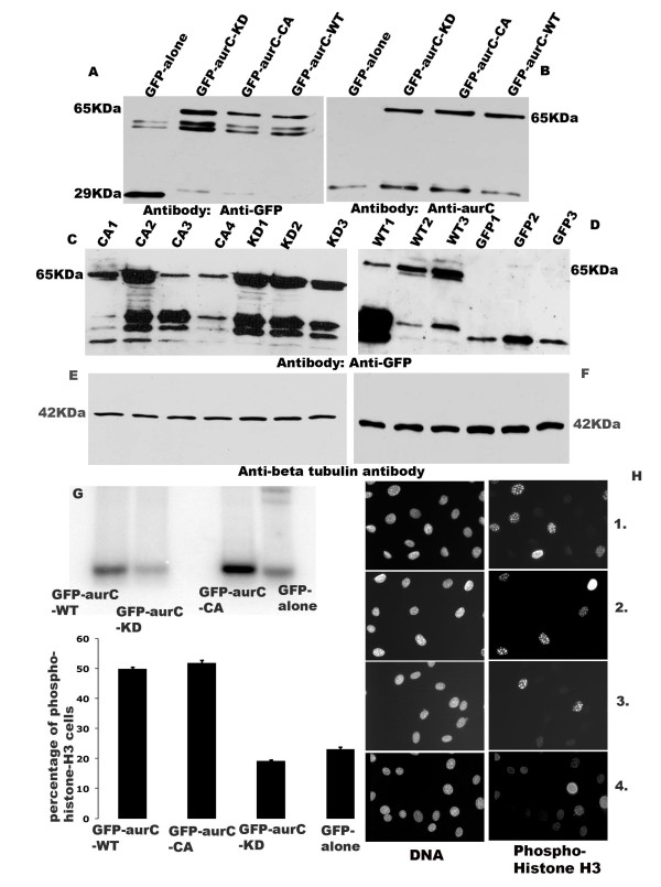 Western blots, showing GFP-aurC and GFP-alone proteins after 24 hours of transient transfection with GFP-alone, GFP-aurC-KD GFP-aurC-CA and GFP-aurC-WT plasmid DNA with mouse Anti-GFP antibody (A) and with rabbit Anti-aurC antibody (B) . Western blots showing the level of expression of GFP-aurC protein in three stable clones of GFP-aurC-KD (KD1 to KD3), four stable clones of GFP-aurC-CA (CA1 to CA4), three stable clones each of GFP-aurC-WT (WT1 to WT3) and GFP-alone (GFP1 to GFP3) illustrating the different level of expression of GFP-aurC and GFP proteins by different clones. The antibody used was mouse anti-GFP ( C   D ) and anti-β tubulin antibody as a loading control ( E    F ); ( G ) Kinase assay GFP-aurC-WT, GFP-aurC-CA and GFP-alone clones, using histone-H3 as a substrate. ( H 1,2,3,4 ) The left column shows DAPI stained cells and the right column shows phosphorylated cells with Histone-H3 ser-10. ( H-1 ) GFP-aurC-WT and ( H-2 ) GFP-aurC-CA ( H-3 ) GFP-aurC-KD.  (H-4)  GFP-alone ( I ) Histogram shows the percentage of cells with phosphorylation on histone H3 of GFP-aurC-WT, GFP-aurC-CA, GFP-aurC-KD and GFP-alone.
