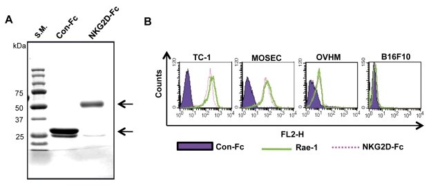 Characterization of the murine NKG2D-Fc protein. (A) Gel electrophoresis was used to characterize the size of the purified NKG2D-Fc and Con-Fc proteins. The NKG2D-Fc and Con-Fc proteins were purified from BHK-21 cells transfected with the pFuse-Fc and pFuse-NKG2D-Fc DNA constructs. The purity and size of isolated protein was characterized by SDS-PAGE, followed by staining with Coomassie brilliant blue. The arrows indicate the proteins of interest. (B) Characterization of the binding of NKG2D-Fc to <t>Rae-1</t> expressed in different tumor cells using flow cytometry.