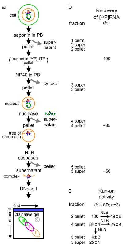 """Purification procedure. (a ) Strategy. Cartoon (top left): chromatin loop with nucleosomes (green circles) tethered to a polymerizing complex (oval) attached to the substructure (brown). Cells are permeabilized, in some cases a run-on performed in [ 32 P]UTP so nascent RNA can be tracked, nuclei are washed with NP40, most chromatin detached with a nuclease (here, DNase I), chromatin-depleted nuclei resuspended in NLB, and polymerizing complexes released from the substructure with caspases. After pelleting, chromatin associated with polymerizing complexes in the supernatant is degraded with DNase I, and complexes partially resolved in 2D gels (using """"blue native"""" and """"native"""" gels in the first and second dimensions); rough positions of complexes (and a control region, c) are shown. Finally, different regions are excised, and their content analyzed by mass spectrometry. ( b ) Recovery of [ 32 P]RNA, after including a """"run-on"""". Fractions correspond to those at the same level in ( a ). ( c)  """"Run-on"""" activity assayed later during fractionation (as in  a , but without run-on at beginning). Different fractions, with names as in ( a ), were allowed to extend transcripts by"""