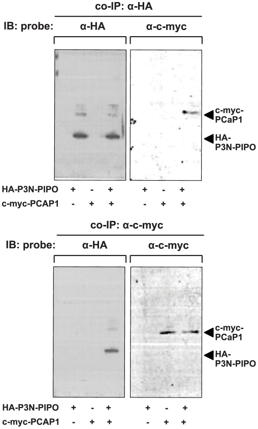 Co-immunoprecipitation of P3N-PIPO and PCaP1 expressed in planta . Proteins from crude extracts of N. benthamiana leaves (2 days post agroinfiltration) that co-expressed HA-P3N-PIPO and c-myc-PCaP1, or expressed HA-P3N-PIPO or c-myc-PCaP1 only were pulled-down using anti-HA (top panels) or anti-c-myc (bottom panels) antibodies, separated by 4–12% Novex Tris-Glycine PAGE, electroblotted onto PVDF membrane and probed with anti-HA or anti-c-myc antibody as indicated. Recognition of HA-P3N-PIPO and c-myc-PCAP1 are shown at right. Immunoblotting (IB).