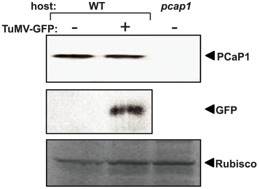 Immunodetection of PCaP1 in wild-type and PCaP1 knockout Arabidopsis plants. Total soluble proteins from leaves collected at 14 dpi were separated by 4–12% Novex Tris-glycine PAGE, blotted onto PVDF membrane, probed with anti-PCaP1 antibody or anti-GFP antibody and detected by ECL-Plus Western reagents. Samples were from mock inoculated or TuMV-GFP infected wild-type (WT) or PCaP1 knockout ( pcap1 ) plants. Equal loading of proteins was verified by similar levels of Coomassie staining of Rubisco protein (bottom panel).