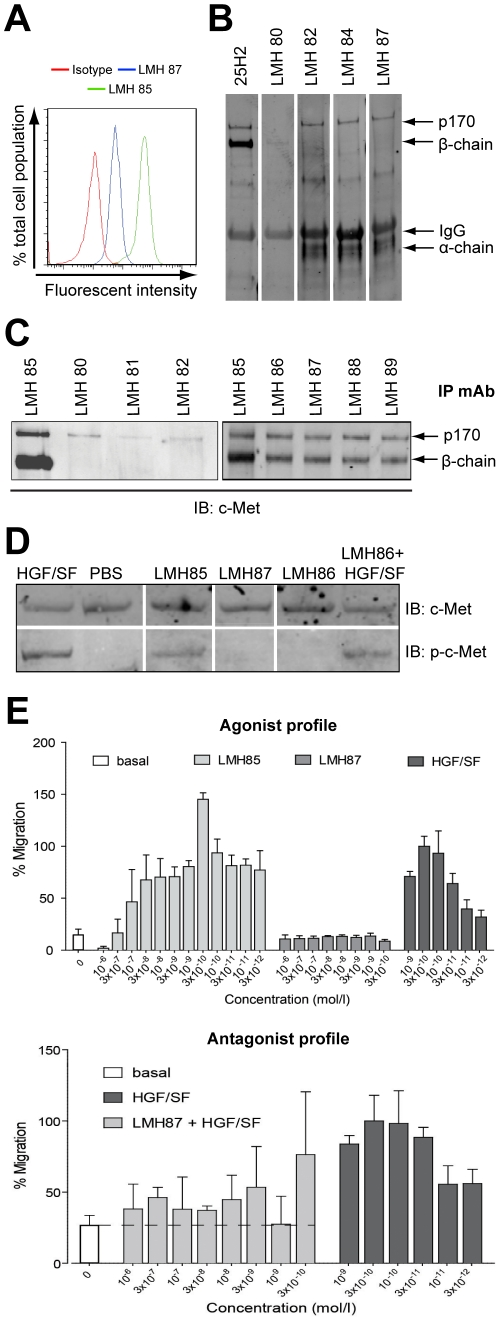 Representative data showing characterization of selected LMH antibodies. (A) flow cytometry analysis showing that LMH 85 and LMH 87 bind surface c-MET expressed on A549 cells. (B) western blots of representative LMH antibodies. c-MET was IPed with LMH 85 and membranes probed with indicated antibodies. The commercial 25H2 recognized the 170 kDa c-MET precursor (p170 c-MET; contains both α and β-chain) and the c-MET β-chain. Using this technique, LMH 80 only weakly bound the β-chain, while LMH 82, 84 and 87 bound p170 c-MET and α-chain. (C) IP with selected LMH antibodies. Following IP with different LMH antibodies, membranes were blotted with mAb 25H2. Antibodies shown were all capable of IP but LMH 80, LMH 81 and LMH 82 appeared specific for p170 c-MET using this technique. (D) biochemical activity of selected LMH antibodies. A459 cells were treated with antibody alone or antibody in the presence of HGF/SF and WCL were probed for total c-MET ( upper panels ) or phosphorylated c-MET (Y1234/Y1235) ( lower panels ). LMH 85 stimulated c-MET phosphorylation, whilst LMH 86 and LMH 87 did not. LMH 86 was unable to block HGF/SF stimulated c-MET phosphorylation. (E) effect of selected LMH antibodies on cell migration. Antibodies were tested for their ability to induce cell migration in SK-OV-3 cells. LMH 85 stimulated cell migration while LMH 87 had no effect ( upper panel ). Differing concentrations of LMH 87 were mixed with 3×10 −10 M HGF/SF to determine if it inhibited the HGF/SF induced migration of SK-OV-3 cells. LMH 87 substantially inhibited the migratory activity stimulated by HGF/SF ( lower panel ). Data in both graphs are presented as percentage migration versus 3×10 −10 M HGF/SF ± SD. A full summary of all LMH antibodies is contained in Table 1 .