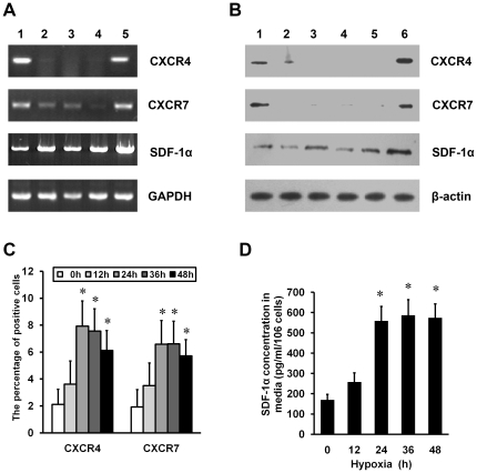 Effects of HP on the expression of SDF-1α, CXCR4, CXCR7 in MSCs. (A) Semiquantitative RT-PCR was used for the analysis of SDF-1α, CXCR4 and CXCR7 mRNA levels in MSCs. GAPDH was used as a control. Lane 1 indicates bone marrow mononuclear cells (BMMCs); lanes 2 to 4, MSC cultures at passage 1 to 3; and lane 5, MSCs at passage 3 and exposed to hypoxia (3% O 2 ) for 24 h. (B) Western blot analysis was performed to detect CXCR4, CXCR7 and SDF-1α protein expression. β-actin was used as a control. Lanes 1 indicates BMMCs; lanes 2 to 5, MSC cultures at passage 1 to 4; and lane 6, MSCs at the third passage to hypoxia for 24 h. (C) FCM was used to detect extracellular expression of CXCR4 or CXCR7 in MSCs exposed to the indicated periods of hypoxia. * P