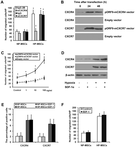 Effects of SDF-1-CXCR4/CXCR7 pathway on MSC chemotaxis in vitro. (A) The chemotaxis in response to SDF-1α (10 ng/ml for 12 h) was performed in the NP-MSCs and HP-MSCs treated with a neutralizing anti-CXCR4 antibody, an anti-CXCR7 antibody, and the respective isotype-matched control antibodies. * P