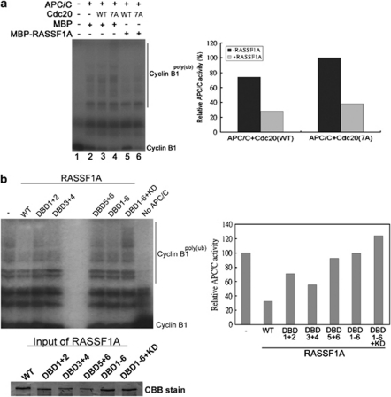 Inhibition of APC/C Cdc20 by RASSF1A depends on the D-box clusters. ( a ) RASSF1A inhibits APC/C Cdc20 in vitro . Recombinant MBP-RASSF1A or MBP was added to the in vitro ubiquitination assay in the presence of Cdc20(WT) or Cdc20(7A). The 35 S-labeled N-terminal fragment of Cyclin B1 was used as the substrate (left panel). The amount of poly-ubiquitinated Cyclin B1 was quantified and the APC/C activities in each reaction relative to the control reaction containing Cdc20(7A) and MBP were calculated (right panel). ( b ) Deletion of the D-box clusters abolishes the inhibitory effect of RASSF1A in vitro . In vitro APC/C inhibitory assay was performed with recombinant RASSF1A DBD mutants (left panel) and the activity of APC/C in the reaction was determined (right panel). The loadings of different RASSF1A mutants were determined by sodium dodecyl sulfate–polyacrylamide gel electrophoresis (SDS–PAGE) and Coomassie Brilliant Blue (CBB) stain.