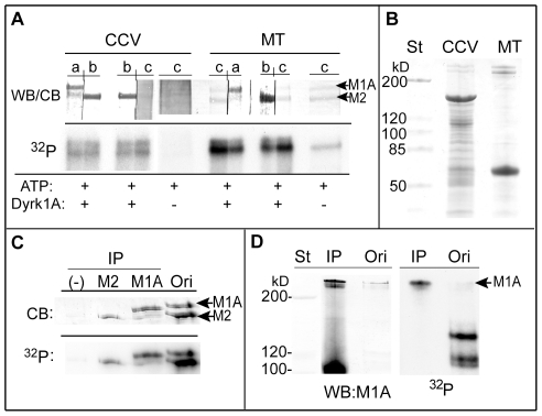 Identification of the phosphorylated protein bands 1 and 2 as MAP1A and MAP2. ( A ) MAP1A and MAP2 in the phosphorylated CCVs and MTs . CCVs (20 µg) and purified MTs (5 µg) were incubated with [γ- 32 P]-ATP with (+) or without (−) GST-Dyrk1A 497 as described in Fig. 1 , followed by SDS-PAGE without ultracentrifugation. Approximately 9 µg and 2 µg of CCVs and MTs, respectively, were applied per lanes. After transferring proteins, each lane of the PVDF membranes was cut into two strips for immunostaining either with anti-MAP1A ( a ) or anti-MAP2 ( b ) antibody, or for Coomassie Blue staining ( c ). The strips were reassembled ( WB/CB ) and subjected to autoradiography ( 32 P ). ( n = 2 ). ( B ) Coomassie Blue-staining of the CCV and MT preparations . Ten and five µg of CCVs and MTs, respectively, were applied per lane. ( C ) Immunoprecipitation of MAP1A and MAP2 from the phosphorylated MTs . MTs (200 µg) were phosphorylated for 1 hr with GST-Dyrk1A 497 (18 µg) and 0.2 mM [γ- 32 P]-ATP in a final volume of 250 µl. After the reaction, the soluble fraction was subjected to immunoprecipitation ( IP ) by using anti-MAP2 ( M2 ) or anti-MAP1A ( M1A ) antibody as described in MATERIALS AND METHODS . A negative control for the immunoprecipitation (−) was obtained without primary antibody. The immunoprecipitates were applied to SDS-PAGE followed by Coomassie Blue staining ( CB ) and autoradiography ( 32 P ). ( n = 1; various preliminary performances carried out to lead the final assay conditions are not included ). Scanning of the MAP1A and MAP2 bands from the original material used for immunoprecipitation ( Ori ) gave the arbitrary units for these proteins as 3306 and 6323, respectively, whereas those for the radioactivity were 6056 and 12582, respectively. ( D ) Immunoprecipitation of MAP1A from the extract of the phosphorylated CCVs . CCVs (60 µg) were incubated with GST-Dyrk1A 497 (7 µg) and 0.2 mM [γ- 32 P]-ATP for 1 hr in a final volume of 120 µl. The phosphorylated CCVs 