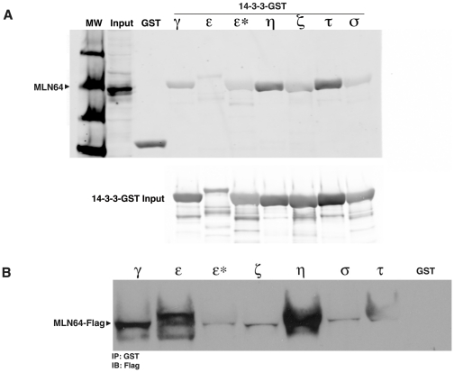 MLN64 interacts with 14-3-3 in vitro . A) Western blot analysis of endogenous MLN64 from cell lysates bound to purified GST-tagged 14-3-3 isoforms indicates interactions between MLN64 and 14-3-3 γ, ε, η, ζ, τ and σ isoforms. ε* denotes a 14-3-3 mutant that cannot bind target proteins. B) Western blot analysis of purified Flag-tagged MLN64 bound to purified 14-3-3-GST isoforms indicates the strongest interactions with the 14-3-3 η and τ isoforms.