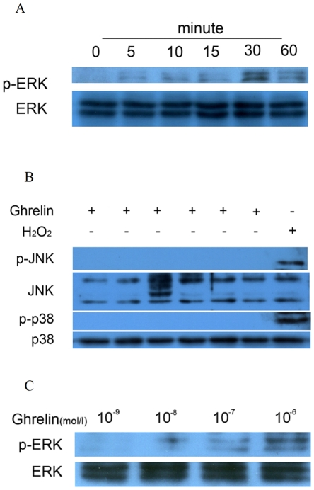 Effects of ghrelin on mitogen-activated protein kinase (MAPK) activation in calcifying vascular smooth muscle cells (CVSMCs). (A, B) Cells were exposed to 10−6 mol/L ghrelin for 0–60 min, or 50 µM hydrogen peroxide (H2O2) for 15 min as a positive control for p38 and JNK activation. Cell lysates were subjected to western blotting and incubated with antibodies against p-ERK, ERK, p-p38, p38, p-JNK, and JNK. The representative results are shown. (C) Cells exposed to 10−9 mol/L, 10 −8 mol/L, 10 −7 mol/L, and 10 −6 mol/L of ghrelin for 30 min. Cell lysates were subjected to western blotting and incubated with antibody against p-ERK and ERK. The representative results are shown.
