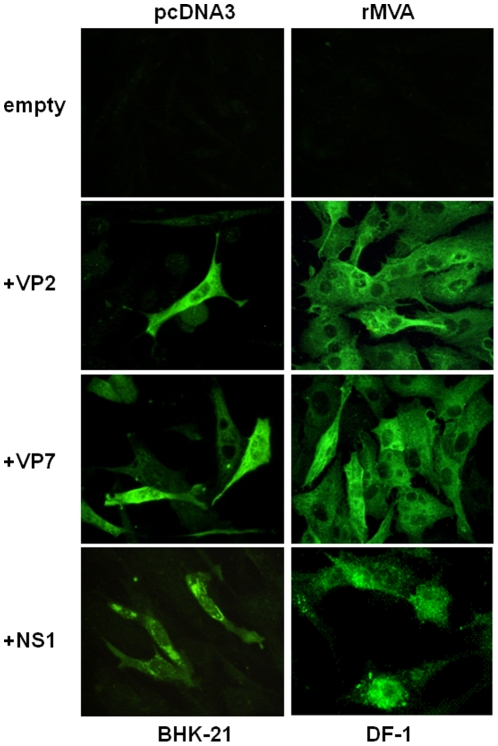 Expression of the VP2, VP7 and NS1 BTV proteins. Immunofluorescence microscopy using a mouse polyclonal antibody against BTV-4 in BHK-21 cells transfected with pcDNA3, pcDNA3-VP2, pcDNA3-VP7, or pcDNA3-NS1 plasmids and DF-1 cells infected with rMVA, rMVA-VP2, rMVA-VP7, or rMVA-NS1.
