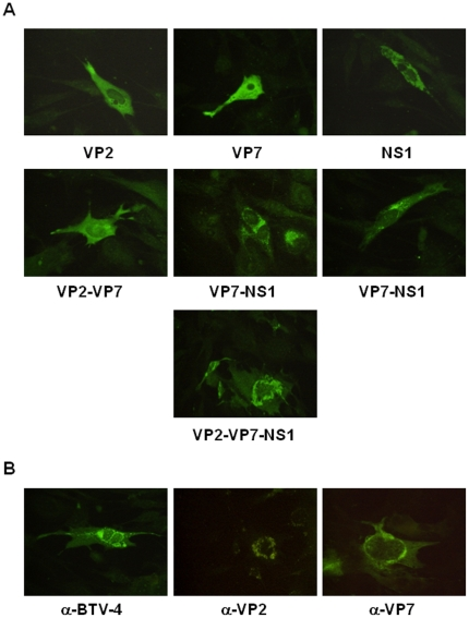 Co-expression of the VP2, VP7 and NS1 BTV proteins. (A) Immunofluorescence microscopy using a mouse polyclonal antibody against BTV-4 in BHK-21 cells transfected with pcDNA3-VP2, pcDNA3-VP7, pcDNA3-NS1 and different combinations of these plasmids. (B) Immunofluorescence microscopy using a mouse polyclonal antibody against BTV-4, or monoclonal antibodies against VP2 and VP7 from BTV-4 in BHK-21 cells transfected with pcDNA3-VP2,-VP7,-NS1.