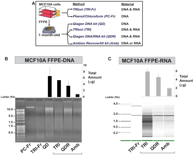 Summary of sequential recovery of DNA and RNA from MCF10A Fresh and FFPE samples using different extraction methods. (A) Schematic representation of cell culture and DNA/RNA extraction methods used with matched fresh and 1 month-old formalin-fixed paraffin-embedded (FFPE) human mammary epithelial MCF10A cells. FFPE DNA and RNA extractions (QD, TRI, QDR, AMB) were performed in triplicate using three 10 µm sections for each replicate. (B) Analysis of RNA extracted from matched fresh and FFPE MCF10A cells. Total RNA extracted from fresh cells using TRIzol (TRI-Fr; Lane 2), and total RNA extracted from FFPE cells using TRIzol (TRI; lane 3), Qiagen QIAamp DNA/RNA extraction kit (QDR; lane 4), and AMBion RecoverAll™ Total Nucleic Acid Isolation kit (AMB; lane 5) was analyzed and quantified using an Agilent 2100 Bioanalyzer 6000 Nanochip (size ladder in lane 1). The bar graph placed above the Bioanalyzer image displays total amounts of RNA recovered from three consecutive 10 µm sections, in triplicate experiments, using the three different methods (TRI, QDR, AMB). (C) Analysis of genomic DNA extracted from matched fresh and FFPE MCF10A cells. DNA was extracted from fresh cells using a phenol/chloroform based method (PC-Fr; lane 2), and TRIzol (TRI-Fr lane 3); and from FFPE cells using Qiagen QIAamp DNA FFPE kit (QD; lane 4), TRIzol DNA/RNA extraction method (TRI; lane 5), Qiagen AllPrep DNA/RNA FFPE kit (QDR; lane 6), and AMBion RecoverAll™ Total Nucleic Acid Isolation kit (AMB; lane 7) was analyzed on a 1% agarose gel (size ladder in lane 1). The bar graph placed above the agarose gel displays total amounts of DNA recovered alone (QD), simultaneously with RNA (TRI, QDR), or separately from RNA (AMB), using three consecutive 10 µm sections, in triplicate experiments for each method.
