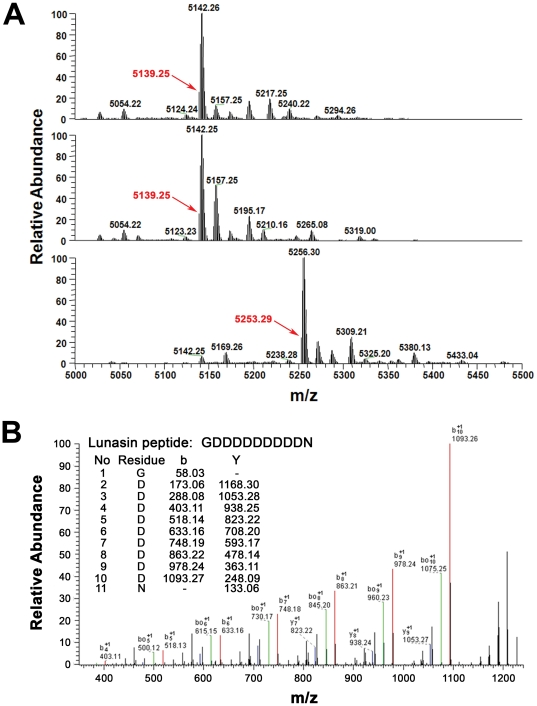 Mass spectrometry of the purified lunasin. (A, top panel) Deconvoluted MS Spectra of purified lunasin. The monoisotopic mass of the purified lunasin was found to be 5139.25 Da, which is 114.02 Da higher than the expected monoisotopic mass (5025.23 Da) for the 43 amino-acid form of lunasin described in the literature. The mass difference suggests that the predominant form of our purified lunasin contains 44 amino acids and that it contains an additional asparagine residue. (A, middle panel) Deconvoluted spectrum of lunasin reduced with DTT. Reduction with DTT did not cause a mass shift, indicating there is no disulfide bond present in the purified lunasin. (A, bottom panel) Deconvoluted spectrum of lunasin complex treated with DTT and IAA. The monoisotopic mass of lunasin shifted to 5253.29 Da after alkylation with IAA, which is 114.04 Da higher than unalkylated lunasin. This mass shift confirmed that lunasin has two free cysteine residues as expected. (B) MS/MS spectrum of C-terminal peptide of lunasin. Calculated b and Y ions for the peptide GDDDDDDDDDN are shown in the table inset. The matched b (red) and Y (blue) ions detected match very well the expected fragment ion values for this peptide. Signals corresponding to the loss of one (green) or more H 2 O molecules, which are expected in MS/MS spectra of peptides with multiple acidic residues, are also evident in the spectrum. These [b – H 2 O] signals are consistent with the presence of the GDDDDDDDDDN peptide. This analysis confirmed that the residue at the C-terminus of lunasin purified from soybean is asparagine rather than aspartic acid.
