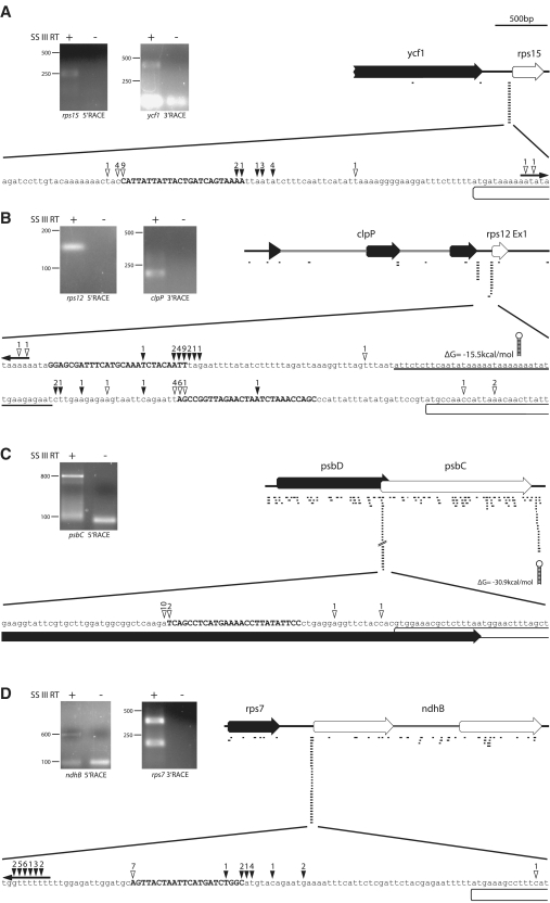 Mapping of transcript ends in the vicinity of selected sRNAs (A = rps15 5′; B = rps12 5′; C = psbD-psbC; D = rps7-ndhB). Total Arabidopsis RNA was ligated with RNA oligos selectively either at the 3′- or at the 5′-end, reverse-transcribed and amplified by PCR with combinations of gene-specific and oligo-specific primers.The amplification products were separated on an agarose gel (left side of each panel). PCR products were gel-purified and cloned. Clones were selected and sequenced. The last base before the sequence of the RNA oligo corresponds to the end of the original chloroplast RNA ligated. These ends are indicated by open arrowheads (for 5′-RACE experiments) or by filled arrowheads (for 3′-RACE experiments) above a blowup of a sequence stretch covering parts of the intergenic region containing the sRNAs (upper case) at the center. The numbers above the arrowheads point out numbers of clones that correspond to a particular transcript end. In case of 5′-RACE, the numbers refer to independent clones as evidenced by different bar-codes introduced via randomized nucleotides in the ligated 5′-RNA oligo. Number of clones indicating independent ends outside of the blowup region are indicated above outward-facing arrows at the ends of the sequence shown here. All further symbols and numbers are explained in Figure 1 .