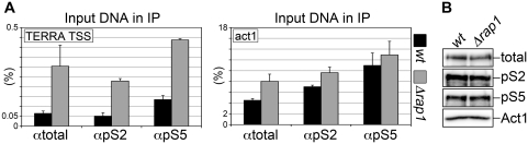 ( A ) Chromatin isolated from wt and Δ rap1 cells was immuno-precipitated using antibodies against RNAPII C terminal domain repeats either unmodified (αtotal) or phosphorylated at Serine 2 (αpS2) or Serine 5 (αpS5). Quantitative real-time PCR was performed using primers flanking TERRA TSS (left graph) or amplifying a fragment from the highly transcribed RNAPII substrate gene act1 (right graph; positive control). Graphs show the fraction of input DNA retrieved in the different samples, after subtraction of the background signal measured for control reactions performed using only beads. Bars and error bars are averages and standard deviations from three independent experiments. ( B ) Total proteins were extracted from wt and Δ rap1 strains and analyzed by western blot with the same antibodies used for ChIP. Act1 was used as loading control.