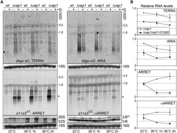 ( A ) Wt and Δ rap1 strains carrying intact Rpb7 or the G150D mutation were grown at permissive temperature (22°C) for several generations and then shifted to restrictive temperature (36°C) for 1 or 2 h. Total RNA was isolated and subjected to northern blot analyses as in Figure 1 B. After signal detection, membranes were stripped and hybridized using probes detecting 35S and 32S precursor rRNAs (unstable RNAPI transcripts), intron-containing U6 snRNA (U6 IN ; unstable RNAPIII transcript) and 18S rRNA (loading control). Molecular weights are on the left in kb. The asterisks indicate the ARRET and αARRET hybridization signals used for quantifications. ( B ) Quantifications of TERRA, ARIA, ARRET and αARRET levels at permissive and restrictive temperatures. Values were normalized through the relative 18S values and expressed as fold increase over Δ rap1 at 22°C. Values and error bars are averages and standard deviations from two independent experiments.