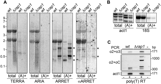 ( A ) Total RNA from wt and Δ rap1 strains was subjected to poly(A)+ fractionation and corresponding volumes of total and poly(A)+ RNA were hybridized to detect TERRA, ARIA, ARRET and αARRET. The asterisks indicate the major hybridization bands corresponding to ARRET and αARRET RNA species. Molecular weights are on the left in kb. ( B ) The same RNA as in A was hybridized using probes detecting the polyadenylated act1 + mRNA and the non-polyadenylated 18S rRNA. ( C ) Total and poly(A)+ RNA was RT using poly(T) oligonucleotides and cDNA was PCR amplified using o2+o3 or o2+oC oligonucleotides. The most right sample corresponds to a control reaction where template was omitted. Molecular weights are on the right in bp.