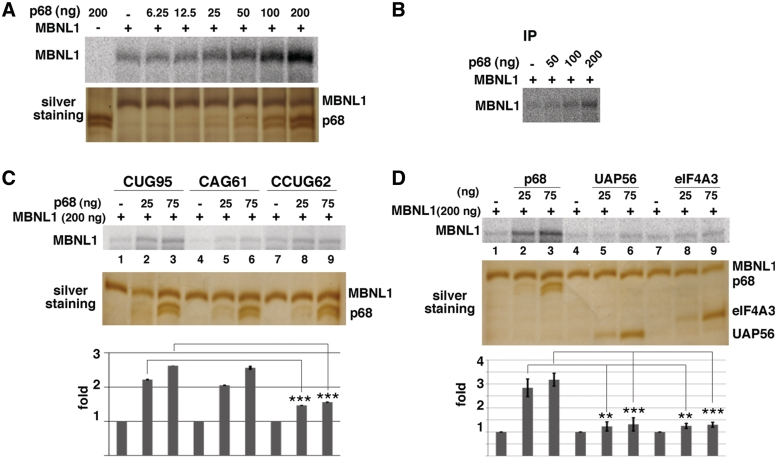 p68 increases the binding of MBNL1 to 95 CUG repeats. ( A ) Plasmid (CUG)95 was in vitro transcribed in the presence of [α- 32 P]UTP. Labeled (CUG)95 RNA was incubated with a constant amount of recombinant MBNL1 protein (200 ng) and increasing amounts of recombinant p68ΔCt2 under splicing conditions with ATP. Proteins cross-linked to labeled RNA were separated on a 10% SDS–PAGE. Bottom image shows a silver stain of a gel run in parallel. Note that p68 ΔCt2 migrates as two bands that are recognized by anti-p68 antibodies (data not shown). ( B ) The cross-linked proteins shown in (A) were immunoprecipitated with anti-MBNL1 antibodies and separated by SDS-PAGE. ( C ) (CUG)95, (CAG)61 and (CCUG)62 RNAs were labeled with [α- 32 P]CTP and used for UV-cross-linking experiments. ( D ) The increase of cross-linked MBNL1 to CUG repeats is specific to p68. Labeled (CUG)95 was incubated with 200 ng of recombinant MBNL1 protein and 25 or 75 ng of recombinant p68ΔCt2, UAP56 or eIF4A3 proteins. Quantifications result from three independent experiments, with error bars indicating standard deviation. * P