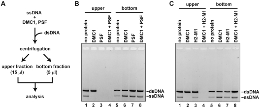The DNA aggregation assay. ( A ) Schematic representation of the DNA aggregation assay. ( B ) The reaction was conducted with DMC1 (4 µM) and/or PSF (1.2 µM) in the presence of ϕX174 ssDNA (10 µM) and linearized ϕX174 dsDNA (10 µM). The samples were centrifuged for 3 min at 20 400 g at room temperature, and the ssDNA and dsDNA recovered in the upper (15 µl) and bottom (5 µl) fractions were analyzed by 0.8% agarose gel electrophoresis with ethidium bromide staining. ( C ) The reaction was conducted by the same method as in panel B, except HOP2-MND1 (1.2 µM) was used instead of PSF.
