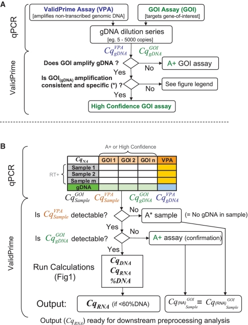 ValidPrime flowchart. ValidPrime GOI assay validation. ValidPrime can be used as a reliable, cost-efficient alternative to RT(−) controls to survey gDNA background in RT–qPCR, and as a tool to determine the RNA-derived signal ( Cq RNA ) in RT(+)–qPCR reactions. To optimize its accuracy when Cq RNA calculation is desired, validation of GOI assays in gDNA samples is recommended, as outlined in ( A ). Asterisks indicates the efficiency evaluation and melting curve/electrophoresis-based analysis. This includes an evaluation of the gDNA sensitivity of GOI assays using dilution series with gDNA samples spanning at least three log 10 in copy number. GOI assays that do not amplify gDNA are attributed the grade A+. The amplification of gDNA by high-confidence assays should be specific and with an efficiency similar to that of the VPA (see 'Discussion' section and Supplementary Figure S3 ). For GOI assays with suboptimal, but confidently determined ( 17 , 21 ) efficiency, Equation (7) could be applied to adjust Cq NA data. To optimize specificity, there should also be consistency between the melting curves of PCR products in gDNA and cDNA samples. ( B ) Cq RNA calculation with ValidPrime-validated GOI assays. High confidence and A+ assays can be used with less gDNA samples for Cq RNA determination. It is recommended to confirm the absence of gDNA amplification at least once for A+ assays. Samples that do not contain sufficient gDNA to generate a signal with the VPA are attributed A*. As for gDNA insensitive A+ assays, Cq RNA equals Cq NA (i.e. output = input) in A* samples, since the DNA-derived signal is negligible [see Equations ( 2 and 4 )]. For gDNA-sensitive GOI assays, Cq RNA is calculated by a Cq DNA -based correction of Cq NA using Equations ( 4 and 5 ). To minimize the risk of jeopardizing the accuracy of the Cq RNA estimation, it is not advisable to perform correction on samples where the DNA-derived signal exceeds 60%. The calculations are facilitated using the ValidPrime software. Details on additional assay/sample grading and data output formats employed by the software are provided in Supplementary Figure S7 . The Cq RNA output data can be used for downstream data processing, such as normalization against reference genes.
