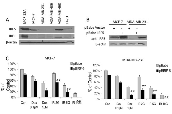 Overexpression of IRF5 in MCF-7 and MDA-MB-231 cells sensitizes them to DNA damage-induced growth inhibition . A . Endogenous IRF expression was analyzed by Western blot in transformed mammary epithelial cell lines. Levels of β-actin are shown as loading controls. B . Western blot analysis of stable cell lines generated to overexpress retroviral pBIRF5. C . Cell survival was measured in MCF-7 and MDA-MB-231 pBabe cell lines by colony formation assay before and after treatment. Cells were treated with 0.1 or 1 μM Doxorubicin (Dox) or 2, 5 and 10 Gy γ-IR. The number of colonies is plotted on the y-axis as percent of control; 100% represents the number of colonies in empty pBabe control lines. Data are expressed as mean ± SD of three independent experiments performed in duplicate. Statistical significance was determined by comparing the difference between colonies in pBabe versus pBIRF5 cell lines after each treatment; * denotes P