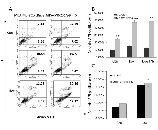 Overexpression of IRF5 in MDA-MB-231 cells sensitizes them to IR-induced apoptosis . A . MDA-MB-231 cells were exposed to 5 Gy IR or the same dose plus IFN-γ (IR/γ) for 24 h. Percent of cells undergoing apoptosis was measured by FACS analysis of Annexin V-FITC (x-axis) and PI (y-axis) double-staining. Percent of Annexin V-FITC stained positive cells is shown in the upper and lower right-hand quadrants. Representative histogram plots from three independent experiments performed in duplicate are shown. B . Same as in (A), except cells were treated with 1 μM Dox or the same dose plus IFN-γ (Dox/γ) for five hours. Percent of Annexin V-FITC-stained positive cells compared to control is plotted on y-axis. Data are expressed as mean ± SD of three independent experiments performed in duplicate. Statistical significance was determined by comparing the difference between pBabe and pBIRF5 cells lines after each treatment; ** denotes P