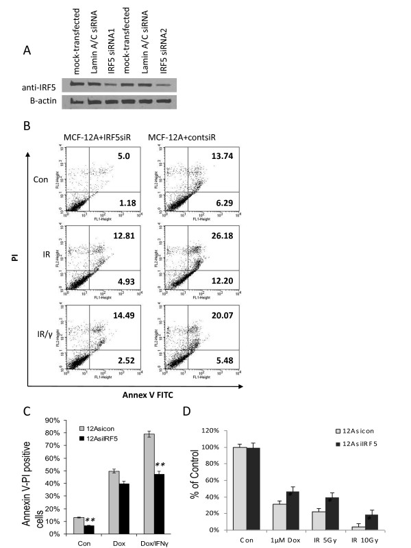 Down-regulation of IRF5 protein expression by siRNAs alters sensitivity to DNA damage . A . MCF-12A cells were incubated with transfection reagent alone (mock-transfected), control Lamin A/C siRNAs or 5 nM IRF5 siRNAs once (IRF5 siRNA1) or twice (IRF5 siRNA2), as described in the Materials and methods. Western blot analysis shows > 70% reduction of endogenous IRF5 proteins after normalization to β-actin levels. B . Cells were exposed to 5 Gy IR or the same dose plus IFN-γ (IR/γ) for 24 h. Percent of Annexin V-FITC stained positive cells is shown in the upper and lower right-hand quadrants. Representative histogram plots from three independent experiments performed in duplicate are shown. C . Same as in B, except cells were exposed to 1 μM Dox or Dox and IFN-γ for five hours. Percent of Annexin V-FITC stained positive cells compared to control is plotted on y-axis. Data are expressed as mean ± SD of three independent experiments performed in duplicate. Statistical significance was determined by comparing the difference between cells transfected with Lamin A/C siRNAs (12Asicon) and IRF5 siRNAs (12AsiIRF5) after each treatment; ** denotes P