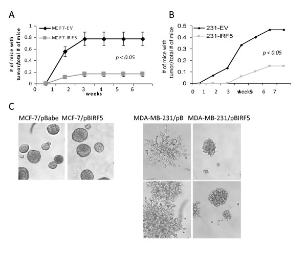 IRF5 inhibits in vivo tumor formation and in vitro metastasis/invasion . A . MCF-7/pBIRF5 (MCF7-IRF5) and MCF-7/pBabe (MCF7-EV) control cells were inoculated into NCr nu/nu mice. The number of mice with tumors over the total number of mice is shown. B . Same as in (A), except 3 × 10 6 MDA-MB-231 control cells (231-EV) or MDA-MB-231 IRF5 overexpressing cells (231-IRF5) were inoculated into NCr nu/nu mice and monitored over seven weeks. C . Growth of MCF-7 and MDA-MB-231 cells were examined by 3-D culture. An equal number of cells were plated and pictures taken 10 days later at 10 × magnification.