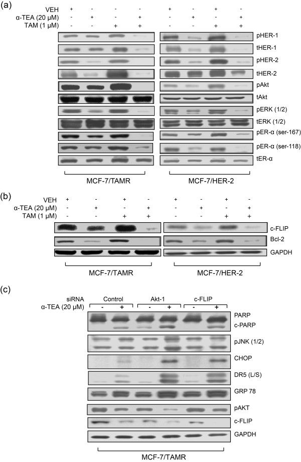Combination of α-TEA + TAM acts cooperatively to reduce prosurvival signaling in TAMR cells . (a, b) Western immunoblot analyses using aliquots of cell lysates from treated cells in Figure 3b were performed to assess prosurvival signaling mediators (a) and to assess antiapoptotic factors c-FLIP and Bcl-2 protein expression (b). (c) MCF-7/TAMR cells transfected with siRNAs to Akt-1 or c-FLIP, as well as control siRNA (labeled Control), were treated with α-TEA (20 μ M ) for 1 day. Western immunoblot analyses were performed to determine PARP, pJNK2/1, CHOP, DR5 (L/S), GRP 78, pAKT, and c-FLIP protein levels, with GAPDH serving as loading control. (a-c) Data are representative of three individual experiments. α-TEA, RRR-α-tocopherol ether-linked acetic acid analogue; Bcl-2, B-cell lymphoma 2; c-FLIP, cellular FLICE-inhibitory protein; CHOP, Ccaat-enhancer-binding protein (C/EBP) homologous protein; DR5 (L/S), death receptor 5 long/short; GAPDH, glyceraldehyde-3-phosphate dehydrogenase; GRP78, glucose-regulated protein-78; MCF-7/TAMR, acquired tamoxifen-resistant MCF-7; pJNK, phosphorylated-c-Jun N-terminal kinase; siRNA, small interfering RNA; TAM, tamoxifen; TAMR, tamoxifen resistant.