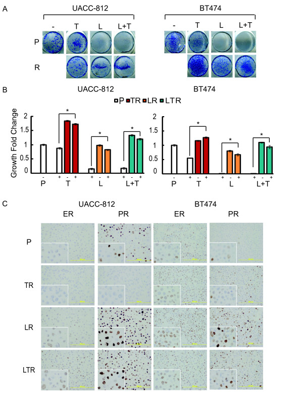 Resistant cells show greater proliferation and exhibit changes in ER and PR expression . (A) Cell proliferation assay of UACC-812 and BT474 parental and resistant (R) cells. Cells were treated with trastuzumab (T, 10 μg/ml), lapatinib (L, 1 μM), or trastuzumab plus lapatinib (L + T). After six days, viable cells were visualized by methylene blue staining and photographed. (B) Fold changes in cell growth of UACC-812 and BT474 parental and resistant cells with or without the respective anti-HER2 therapies, following six days of treatment. Cell numbers were quantified by absorbance at 655 nm and normalized against Day 0. Significance between groups was determined by multiple comparisons using the Sidak method (* P