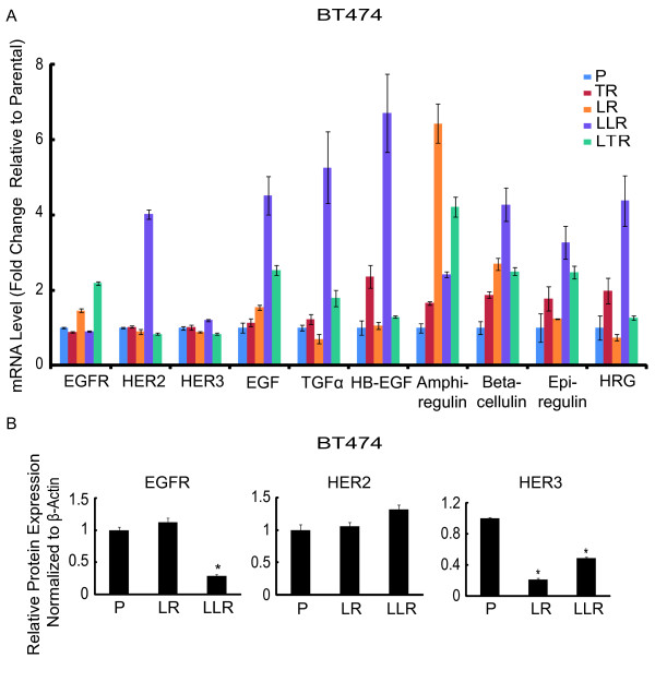 BT474 late stage lapatinib-resistant cells overexpress HER2 and HER ligands . (A) mRNA expression levels of HER receptors and ligands in BT474 parental and distinct resistant derivatives by qRT-PCR. Data were normalized to parental cells. (B) EGFR, HER2, and HER3 protein levels in BT474 parental, early, and late stage lapatinib-resistant cells. Protein level was quantified with Odyssey software (LI-COR Biosciences, Inc., Lincoln, NE). Each expression level was acquired from three independent samples for each derivative. Significance between groups was determined by multiple comparisons using the Sidak method (* P