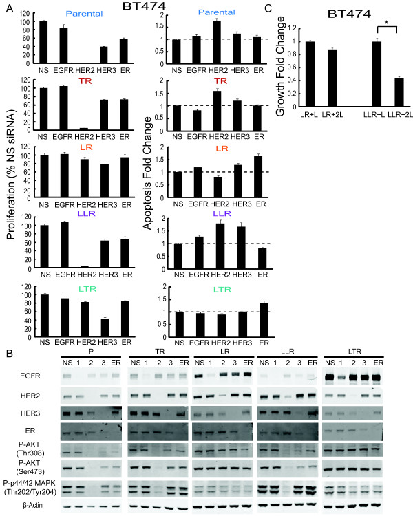 Inhibition of HER2 restores lapatinib sensitivity in BT474 late stage lapatinib resistant cells . (A) BT474 parental and resistant cells were treated with pooled EGFR, HER2, HER3, ER siRNA, or non-targeting control siRNA, for 72 hours. Proliferation was measured using the Click-iT EdU (5-ethynyl-2'- deoxyuridine) Microplate Assay. Apoptosis was measured by detecting Annexin V expression. Signals were visualized and quantitated by the Celigo cytometer (Cyntellect, San Diego, CA, USA). (B) Down-regulation of EGFR, HER2, HER3, and ER in BT474 derivatives after siRNA treatment was detected by Western blot. Whole-cell extracts were analyzed with the indicated antibodies, including downstream signaling. (C) Growth fold change of double dosage (2 μM) lapatinib on BT474 early and late stage-lapatinib resistant cells for six-day treatment. Cell numbers were assessed using methylene blue and quantified by absorbance at 655 nm and normalized against Day 0. Significance between groups was determined by multiple comparisons using the Sidak method (* P