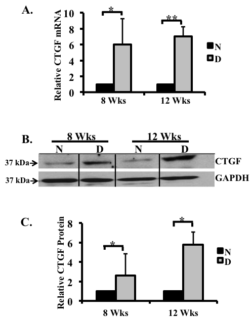 Connective tissue growth factor (CTGF) expression increased in retina of 8 and 12 week diabetic rats.  CTGF  mRNA expression in the retinas of non-diabetic and diabetic rats after 8 and 12 weeks of hyperglycemia were analyzed using real-time PCR and normalized to the housekeeping gene acidic ribosomal phosphoprotein P0 ( ARPP 0 ).  A :  CTGF  mRNA levels increased six- and sevenfold at both time points.  B : A representative western blot illustrating CTGF and glyceraldehyde 3-phosphate dehydrogenase (GAPDH) protein expression in the retinas of diabetic rats after 8 and 12 weeks of hyperglycemia. Note the increased CTGF protein levels compared to the non-diabetic controls.  C : Densitometric analysis of three separate immunoblots indicates a 2.5 and 5.7 fold increase in the CTGF protein after 8 and 12 weeks of hyperglycemia, respectively. (*p