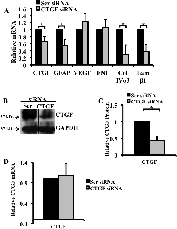 siRNA treatment significantly decreased hyperglycemia-induced increase in connective tissue growth factor (CTGF) mRNA and protein, glial fibrillary acidic protein (GFAP), collagen IVα3 and laminin-β1 gene expression. mRNA expression for  CTGF  and selected genes in the retinas of the diabetic rats after 12 weeks of hyperglycemia were analyzed using real-time PCR and normalized to the TATA-binding protein ( TBP ).  A : Real-time PCR revealed that 3 days post intravitreal injection,  CTGF  siRNA induced a decrease in  CTGF  (33%),  GFAP  (44%), collagen IVα3 (71%), and laminin β1 (63%) mRNAs. In contrast,  CTGF  siRNA did not affect the level of fibronectin or vascular endothelial growth factor ( VEGF ).  B : Immunoblot analysis of CTGF levels in the retinas following a single intravitreal injection of  CTGF  siRNA or scrambled siRNA into left and right eye, respectively. The concentration of the CTGF protein is lower in eyes injected with  CTGF  siRNA.  C : Densitometric analysis of three independent experiments revealed a 54% decrease in CTGF protein in retinas injected with  CTGF  siRNA compared to retinas injected with a scrambled (non-specific) siRNA. Glyceraldehyde 3-phosphate dehydrogenase (GAPDH) was used as loading control.  D : Real-time PCR showed that  CTGF  siRNA had no effect on  CTGF  expression 10 days after injection. (*p