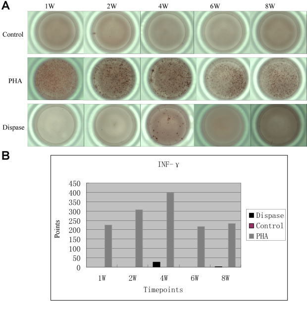 Enzyme-Linked ImmunoSpot (ELISpot) assay of interferon (INF) -γ in single T cell suspensions from dispase-injected and saline-injected mouse spleens. A : Compared with positive control group (stimulated with phytohemagglutinin, PHA), IFN-γ values were only detected at 4-week and 8-week time points in dispase-injected mice, and not detected at any time point in saline-injected mice. B : In the graph of counting statistics, there were only 25.5 points at the 4-week time point, and 2.5 points in the 8-week for dispase-injected mice.