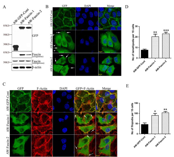 Overexpression of fascin leads to reorganization of actin cytoskeleton . ( A ) Western blot and confocal analysis of stable overexpression of Fascin-GFP (AW-Fascin-1 and AW-Fascin-2) and empty vector control pEGFP (AW-GFP-Cont) clones derived from AW13516 cells with antibodies to GFP and fascin. β-actin was used as loading control. Scale bars: 10 μm. ( B ) Representative confocal images of stably expressed GFP tagged fascin and GFP alone in AW-Fascin-1, AW-Fascin-2 and AW-GFP-Cont clones respectively. Cells were counter stained with DAPI. Scale bars: 10 μm. Arrow heads and arrows indicate filopodia and lamellipodia respectively. ( C ) Representative confocal images of F-actin stained with phalloidin-TRITC and the co-localization of F-actin with Fascin-GFP in stable AW-Fascin-1, AW-Fascin-2 and AW-GFP-Cont clones. Cells were counter stained with DAPI. Scale bars: 10 μm. Arrows indicate colocalization of Fascin-GFP with F-actin at filopodia like structures. ( D ) Histogram showing number of filopodia formed by fascin overexpressed (AW-Fascin-1 and AW-Fascin-2) and vector control (AW-GFP-Cont) cells. Mean and standard deviation of 3 independent experiments is plotted ( p