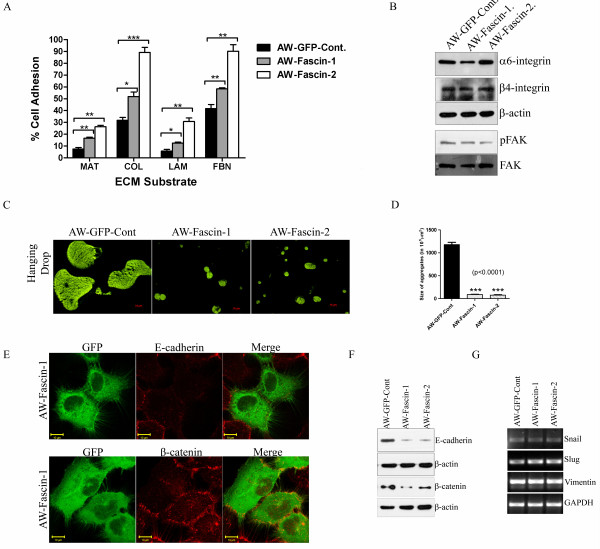 Fascin overexpressed cells demonstrated increase in cell-ECM adhesion and loss of cell-cell contacts . ( A ) Cell adhesion of fascin-overexpressed (AW-Fascin-1 and AW-Fascin-2) and vector control (AW-GFP-Cont) cells to different ECM substrates was measured as described. The data shown is the average from three experiments with the mean and standard deviation. ( B ) Western blot analysis of stable fascin-overexpressed (AW-Fascin-1 and AW-Fascin-2) and vector control (AW-GFP-Cont) clones with antibodies to α6 integrin, β4 integrin and phosphorylated FAK. β-actin and total FAK were used as internal loading controls respectively. ( C ) Representative images of aggregates formed by of fascin overexpressed (AW-Fascin-1 and AW-Fascin-2) and vector control (AW-GFP-Cont) cells in hanging drop assay. ( D ) Histogram showing size of aggregates formed by overexpressed (AW-Fascin-1 and AW-Fascin-2) and vector control (AW-GFP-Cont) cells. Mean and standard deviation of 3 independent experiments is plotted ( p