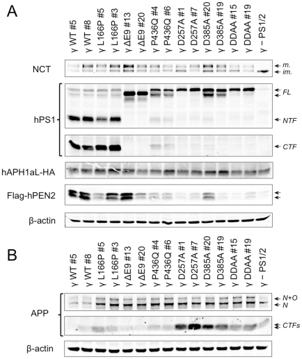 Generation of stable cell lines overexpressing all human γ-secretase components with FAD-linked PS1 variants. MEF PS1/2 −/− were stably co-transduced with lentiviral vectors carrying genes encoding hNCT-V5, Flag-hPEN2, hAPH1aL-HA and clones were isolated by limiting dilution to generate a cell line, designated as γ- PS1/2, that overexpresses high amount of the three subunits. γ- PS1/2 MEFs were further transduced with hPS1 variants harbouring FAD-linked mutations or mutations in the catalytic aspartate residue(s), or PS1-WT, and cloned. Each clone, derived form the γ- PS1/2, was conveniently named according to the mutation present in PS1 preceded by the symbol γ and followed by the number of the clone (γ-MEF) in order to distinguish them from wild-type MEF (WT MEF) and MEF PS1/2 −/− . Two clones per γ-secretase variant were selected for characterization. (A–B) Whole cell protein extracts of the different cell lines were prepared in 1% NP40-HEPES buffer, separated by SDS-PAGE on 4–12% Bis-Tris or 12% Tris-Glycine gels and analysed by immunostaining to detect the γ-secretase core components NCT (NCT164), PS1 (NTF, MAB1563; CTF; MAB5232), APH1aL-HA (3F10), and Flag-PEN2 (M2) (A), and endogenous APP (A8717) (B). β-Actin was used as a loading control. Each lane represents one selected clone. CTF : C-terminal fragment, FL : full-length, im. : immature NCT; m. : mature NCT, N : N-glycosylated, NTF : N-terminal fragment, O : O-glycosylated.
