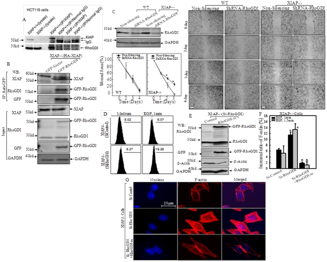 RhoGDI was involved in XIAP regulation of cell migration and actin polymerization. (A), Lysates from WT and XIAP −/− HCT116 cells were Co-immunoprecipitated with anti-XIAP (mouse) antibody or normal mouse IgG, and immunoprecipitates were then subjected to immunoblotting with anti-RhoGDI (rabbit) or anti-XIAP (rabbit) antibodies. Five percent of lysates was used as input. (B), XIAP −/− (HA-XIAP) cells were transiently transfected with the GFP-RhoGDI or empty vector, GFTP-Vector. Co-immunoprecipitation was performed with anti-GFP antibody-conjugated agarose beads. Immunoprecipitates were then subjected to immunoblotting using antibodies as indicated. (C). Stable transfectants of shRNA-RhoGDI in WT and XIAP −/− cells were identified. Cell migration was determined by wound healing assays at the indicated times between Non-silencing and shRNA-RhoGDI transfectants in WT and XIAP −/− cells respectively. The wound area was quantified using Cell Migration Analysis software, and the quantitative data was shown as indicated (error bar represent S.D, n = 3). The asterisk (*) indicates a significant difference between the indicated cell lines ( p