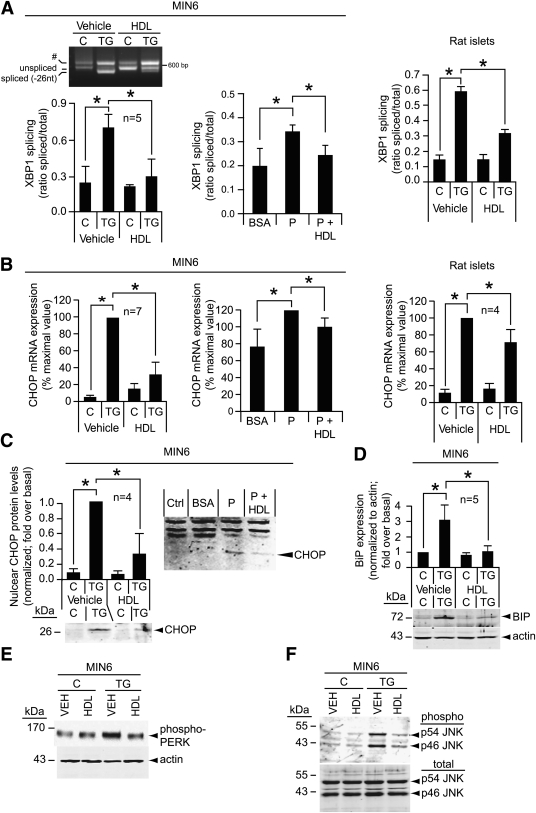 HDLs inhibit the induction of stress markers by TG and palmitate. MIN6 cells and rat islets were left untreated (control [C]) or treated with 0.5 μmol/L TG during 6 h ( A – C and E ) or 24 h ( D and F ) in the presence or in the absence of 1 mmol/L HDLs. Alternatively, the cells were treated with 0.3% BSA (BSA) or with 0.3% BSA/0.4 mmol/L palmitate (P) in the presence or in the absence of 1 mmol/L HDLs for 24 h ( A and B ) or 48 h ( C ). The cells were then lysed, and RNA and proteins were isolated. The extent of XBP1 mRNA splicing was then determined ( A ). The pound sign (#) in A indicates an unspecific band (see research design and methods ). CHOP mRNA expression was determined by quantitative PCR ( B ). Western blot analysis were performed to assess protein expression of CHOP ( C ), BiP ( D ), phospho-PERK ( E ), and phospho- and total JNK ( F ). The experiments presented in E and F were repeated once and twice, respectively, and yielded similar results. *Significant differences. VEH, vehicle.
